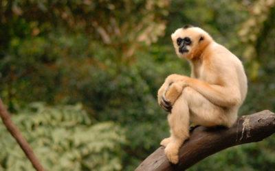 Phuket Gibbon Sanctuary