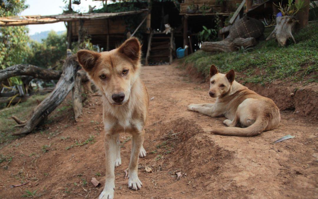 Street Dogs in Phuket